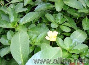 黄花水龙-逢草花虽小,但田野风韵很浓,是夏季水景园重要的